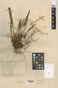 Holotype of Dendrochilum scriptum Carr [family ORCHIDACEAE]