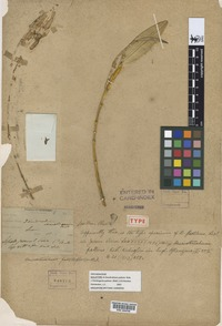 Holotype of Dendrobium pallens Ridl. [family ORCHIDACEAE]
