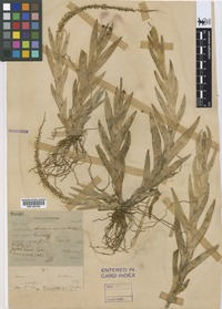 Holotype of Oberonia macrostachys Ridl. [family ORCHIDACEAE]