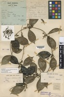 Holotype of Toxocarpus glabrescens M. R. Hend. [family APOCYNACEAE-SEC]