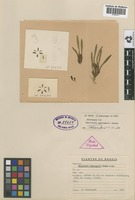 Holotype of Maxillaria spannagelii Hoehne [family ORCHIDACEAE]