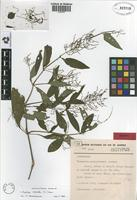 Isotype of Thalestris graminiformis Rizzini [family ACANTHACEAE]