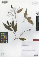 Isotype of Aiouea barbellata Kosterm. [family LAURACEAE]
