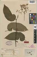 Lectotype of Begonia nuda Irmsch. [family BEGONIACEAE]
