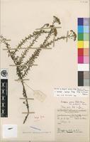 Isotype of Selago goetzei Rolfe subsp. ambigua Hilliard [family SCROPHULARIACEAE]