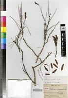 Isotype of Dalbergia densicoma Baill. [family FABACEAE]