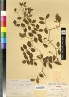 Isotype of Cyphostemma laza var parvifolia Desc. [family VITACEAE]