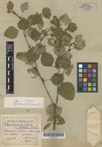 Type of Betula litwinowii A. Doluchanow var. abchasica A. Doluch. [family BETULACEAE]