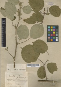 Type of Rubus discernendus Sudre [family ROSACEAE]
