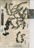 Type of Fucus subfarcinatus Mert. [family FUCACEAE]