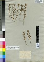 Isotype of Polycarena silenoides (Harvey) ex Benth. [family SCROPHULARIACEAE]