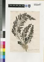 Filed as Cystophyllum trinode (Forssk.) J.Agardh [family CYSTOSEIRACEAE]