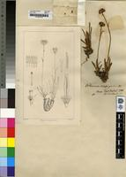 Holotype of Othonna scapigera Harv. [family ASTERACEAE]