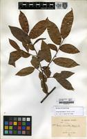 Filed as Uvaria micrantha (A. DC.) Hook.f. & Thomson [family ANNONACEAE]