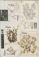 Filed as Pachydictyon furcellatum J.Agardh [family DICTYOTACEAE]