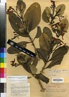 Isotype of Tabernaemontana humblotii (Baill.) Pichon [family APOCYNACEAE]
