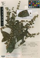 Holotype of Vernonia diazlunana B. L. Turner [family ASTERACEAE]