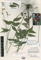 Holotype of Alloispermum guerreroanum B. L. Turner [family ASTERACEAE]