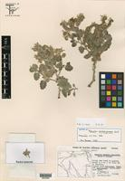 Isotype of Phacelia marshall-johnstonii N. D. Atwood & Pinkava [family HYDROPHYLLACEAE]