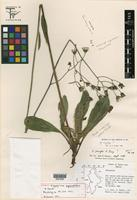 Holotype of Hieracium gypsophilum B. L. Turner [family ASTERACEAE]