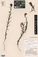 Holotype of Castilleja durangensis G. L. Nesom [family SCROPHULARIACEAE]