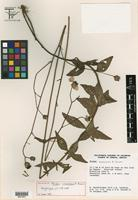 Holotype of Tridax oaxacana B. L. Turner [family ASTERACEAE]