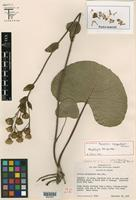 Holotype of Psacalium cronquistiorum B. L. Turner [family ASTERACEAE]
