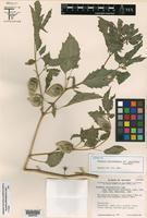 Isotype of Physalis philadelphica Lam. var. parviflora Waterf. [family SOLANACEAE]
