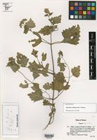 Holotype of Ageratina colimana B. L. Turner [family ASTERACEAE]