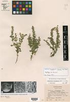 Isotype of Scutellaria texana B. L. Turner [family LAMIACEAE]