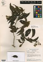 Isotype of Miconia collatata Wurdack [family MELASTOMATACEAE]
