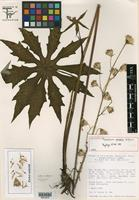 Holotype of Psacalium perezii B. L. Turner [family ASTERACEAE]
