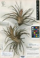 Isotype of Tillandsia concolor L. B. Sm. [family BROMELIACEAE]