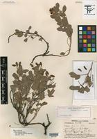 Holotype of Cassia demissa Rose var. radicans H. S. Irwin & Barneby [family FABACEAE]