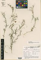 Isotype of Lathyrus hitchcockianus Barneby & Reveal [family FABACEAE]