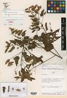 Isotype of Pavonia insperabilis Fryxell [family MALVACEAE]