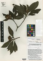 Isotype of Vernonia wendtiana B. L. Turner [family ASTERACEAE]