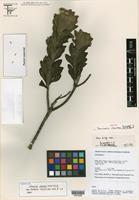 Isotype of Semiria viscosa D. J. N. Hind [family ASTERACEAE]