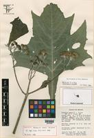 Holotype of Verbesina olsenii B. L. Turner [family ASTERACEAE]