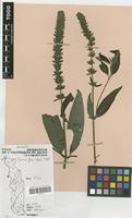 Filed as Justicia flava (Forssk.) Vahl [family ACANTHACEAE]