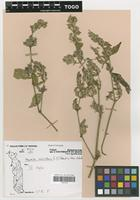 Filed as Hypoestes verticillaris (L.f.) Sol. ex Roem. & Schult. [family ACANTHACEAE]