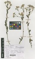 Filed as Vernonia migeodii S.Moore [family COMPOSITAE]