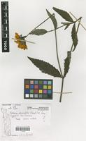 Filed as Coreopsis borianiana Sch.Bip. ex Schweinf. & Asch. [family COMPOSITAE]