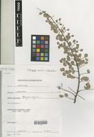 Filed as Bauhinia rufescens Lam. [family LEGUMINOSAE-CAESALPINIOIDEAE]