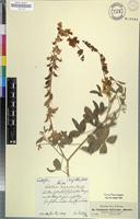 Isotype of Crotalaria lupinoides Hochst. ex Benth. [family FABACEAE]