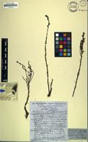 Holotype of Raphidophyllum simplex Hochst. [family SCROPHULARIACEAE]