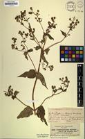 Isotype of Limnogenneton abyssinicum Sch.Bip. [family ASTERACEAE]