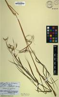 Isosyntype of Andropogon papillipes Hochst. ex A.Rich. [family POACEAE]