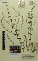 Isotype of Micromeria abyssinica Benth. [family LAMIACEAE]
