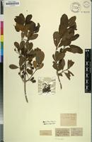 Holotype of Combretum kraussii Hochst. [family COMBRETACEAE]